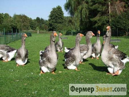 Переваги та недоліки розведення гусей тулузької породи
