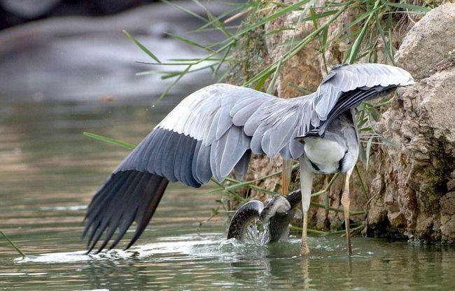 Наявність змії чаплю не злякало, оскільки змії є частиною природного раціону цих птахів.