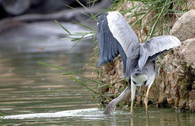 Чапля занадто великий птах, щоб знаходиться в воді змія могла їй протистояти.