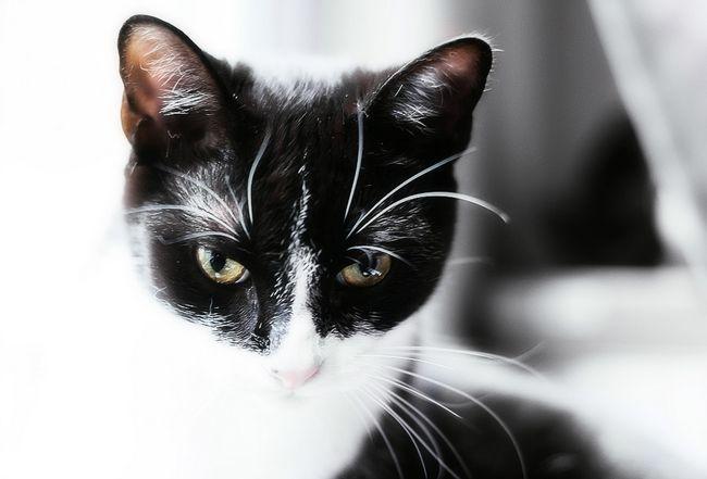 Як правильно чистити вуха кошеняті або кішці. Хвороби вух у кішок. Чим почистити вуха кошеняті в домашніх умовах: поради.