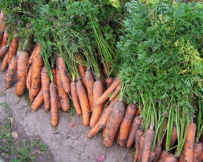 kak-xranit-morkov-zimoj