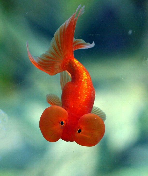 Обов`язково годуєте золотих рибок тричі на день.