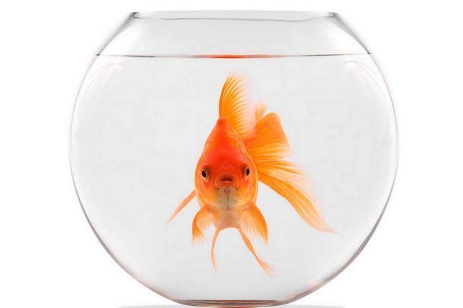 Вибираємо золоту рибку для акваріума.