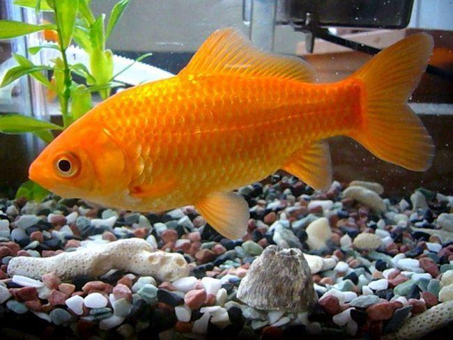 Існують кілька різновидів корму для золотих рибок.