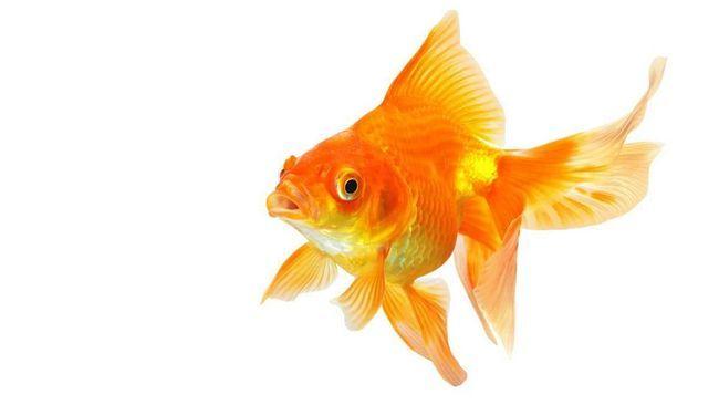 Звичайна золота рибка.