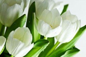 Як і коли садити тюльпани? - поради