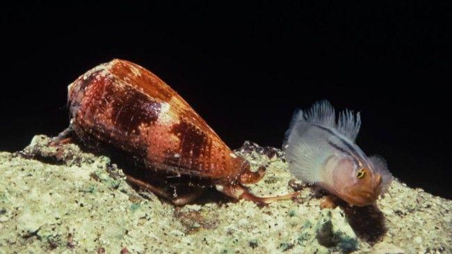Морська равлик напала на рибу.