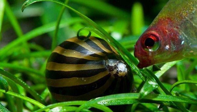 Акваріумна равлик і рибка.