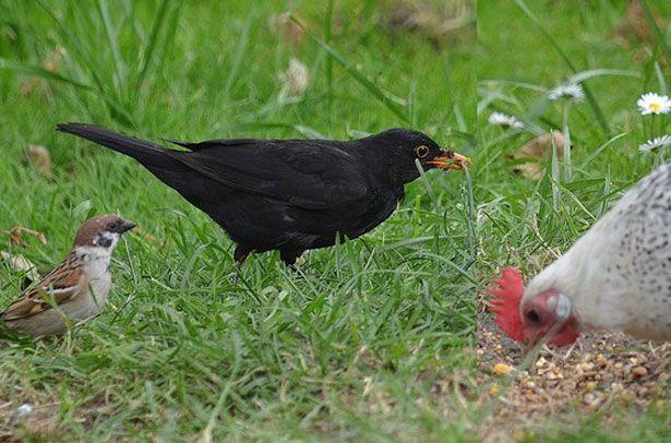 Дикі птахи біля курки
