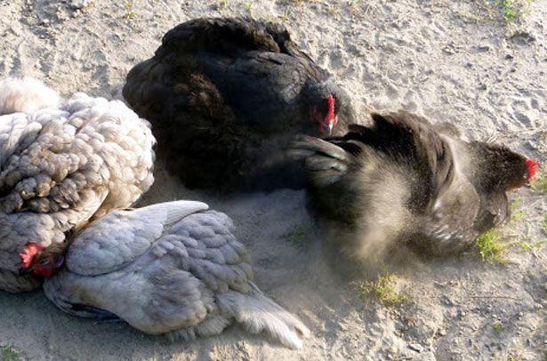 Кури позбавляються від празаітов
