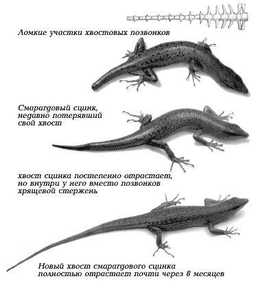 Ящірки тільки на перший погляд здаються примітивними тваринами