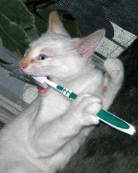 чистять чи кішкам зуби