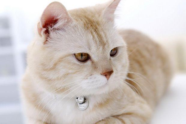 Як лікувати вушний кліщ у кішок, і симптоми вушного кліща у кішок