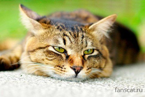Як лікується цистит у кішок - причини, ліки і профілактика