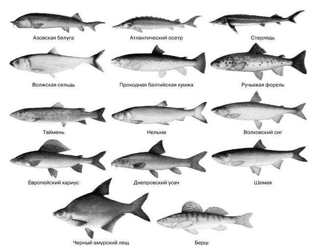 Види риб занесені в червону книгу, як зникаючі, до таких належить осетер