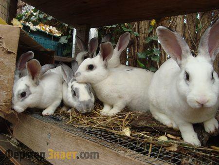 Розведення кроликів в клітці