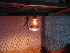 ІК лампа в курнику