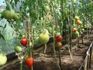 Як обрізати листя у томатів?