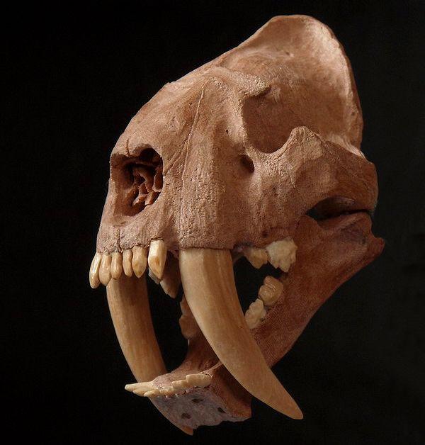 череп смілодона