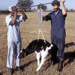 Як визначити без ваг скільки важить корова?
