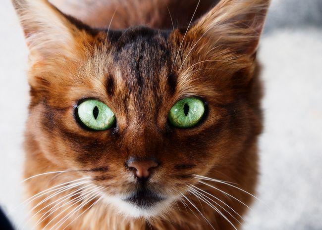 Як визначити породу кішки за зовнішніми ознаками