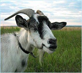 Як визначити вік кози? Визначення віку кози.