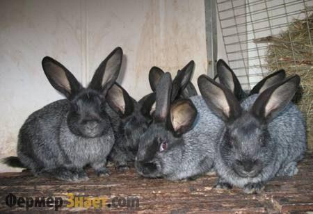 Кролики м`ясного напряму