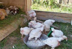 Курчата їдять з миски