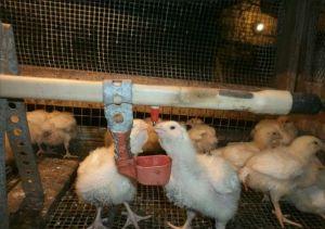 Бройлерні курчата в курнику