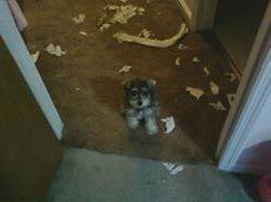 Як відучити щеняти або собаку гризти речі в будинку?