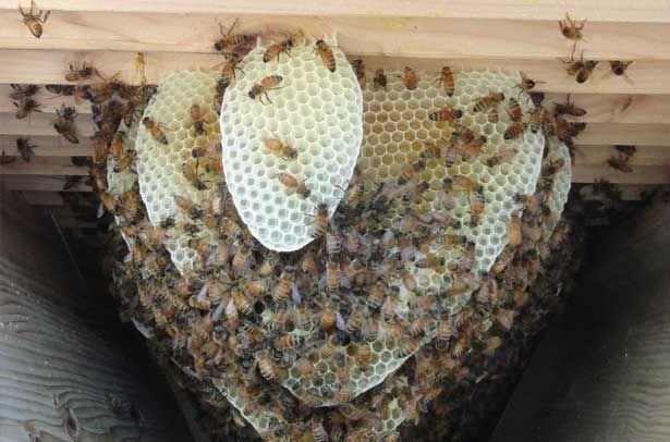 Бджоли відбудовують стільники