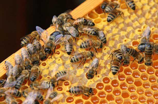 Бджоли роблять мед