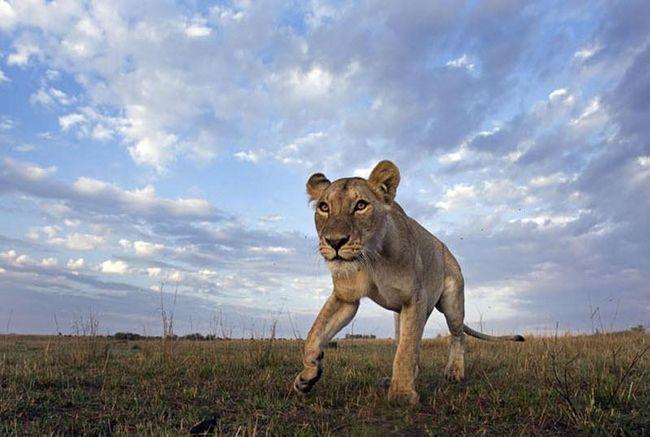 Гнані кенійськими офіцерами охорони дикої природи, зебри із заповідника Сойсамбу, готуються до транспортування в національний парк Амбоселі, де їх чисельність різко скоротилася через посуху.