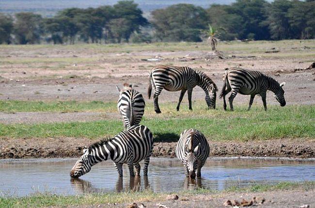 Національний парк Амбоселі і його дика природа - важлива частина економіки Кенії, вона приваблює мільйони туристів щороку.