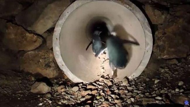 Сім`я імператорських пінгвінів