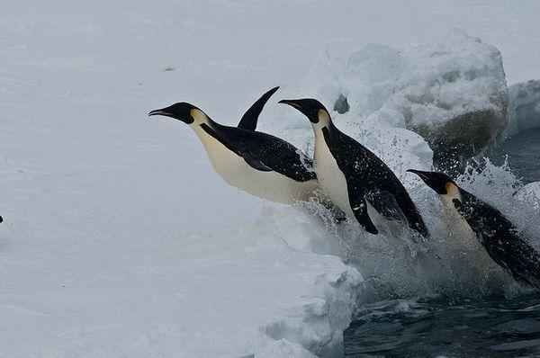 Імператорські пінгвіни виходять на сушу.