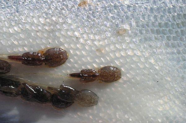 Лососевих воша на шкірі риби