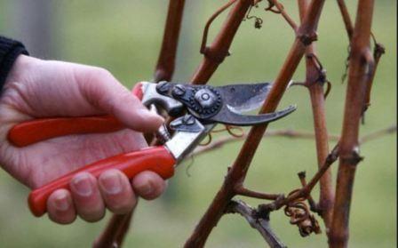 Як підготувати малину до зимового періоду поради і правила
