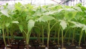 Як підготувати насіння томатів до висадки для розсади?