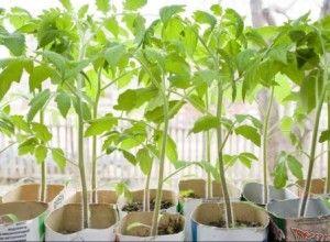 як вирощувати насіння помідор для розсади