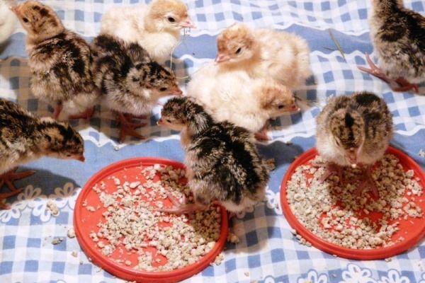 Комбіновані корми для індичат