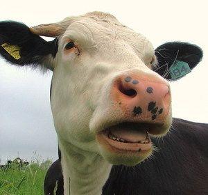 Як купувати і як правильно вибрати корову