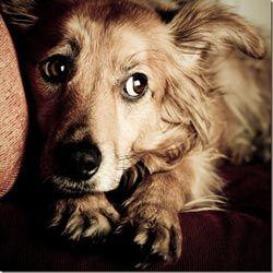 собака боїться