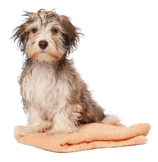Після завершення процедур з собакою не забудьте помити руки з милом.