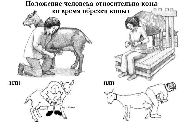Положення людини щодо кози під час обрізки копит
