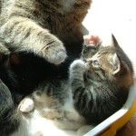 Як правильно і без клопоту привчати кота до лотка
