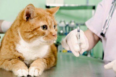 Як правильно і безболісно зробити укол кішці