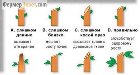 Схема правильної обрізки дерева
