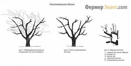 омолодження дерева