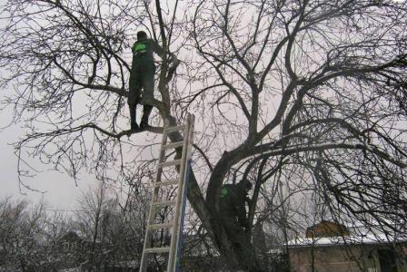 Які плодові дерева обрізати взимку